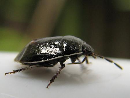 とにかく小さいミツボシツチカメムシ