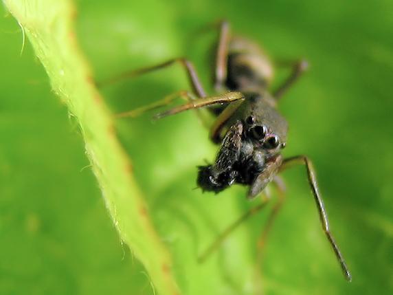 葉大根のアリグモ