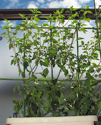 ベランダ菜園のトマト&エダマメ&トウガラシ