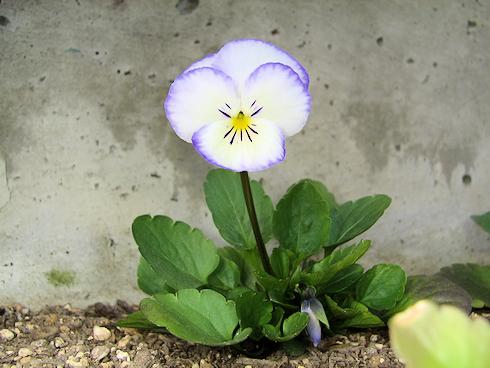 虹色スミレの新種が開花