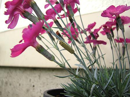 ミノウスバの幼虫の大移動始まる