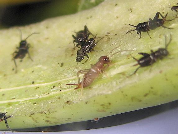 エンマコオロギの幼虫の脱皮