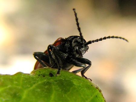 交尾するチャバネツヤハムシと謎の幼虫の会話