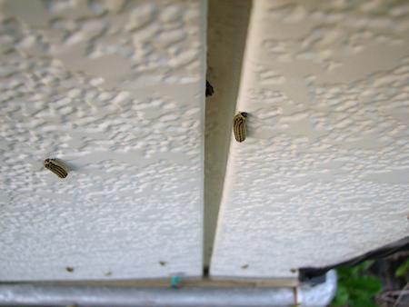 ミノウスバの幼虫の大移動 第2陣