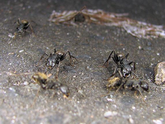 大きな黒蟻クロオオアリ