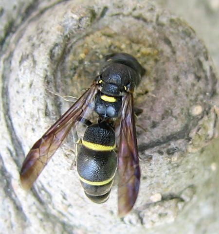 写真館-チビドロバチの巣作り開始?