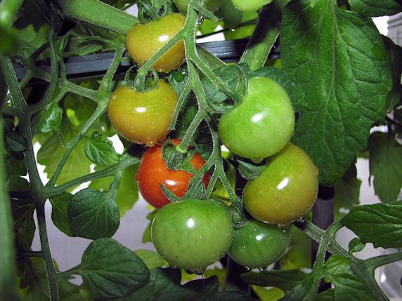 実がなり熟すベランダ菜園