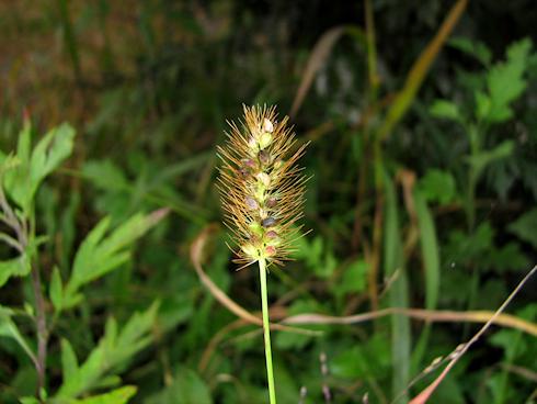 種子を落とすエノコログサ