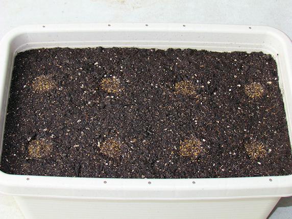 カブ栽培開始