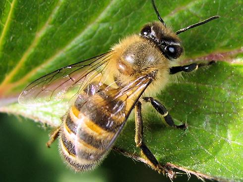 ひなたぼっこをするミツバチ