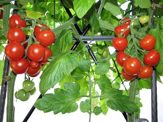 3種のトマトの実況