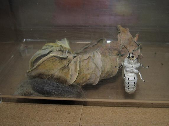 クワゴマダラヒトリが羽化