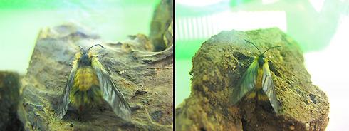 飼育ケースのミノウスバがまた羽化