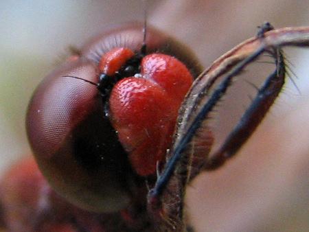 写真館-顔面真っ赤のミヤマアカネ
