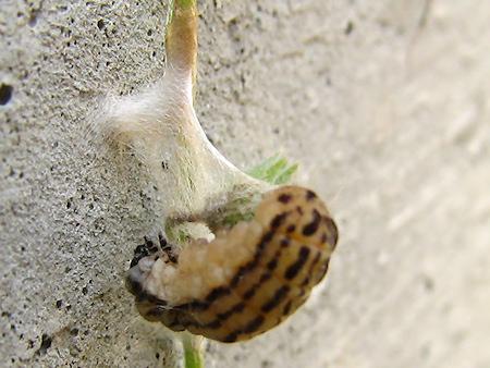 マユを作るミノウスバの幼虫