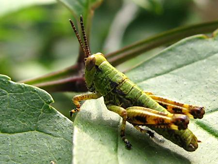 2匹のバッタの幼虫の風景