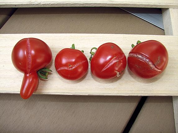 84個のミニトマト初収穫