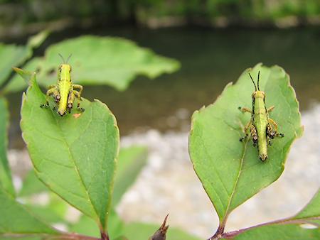 2匹のバッタの幼虫の会話