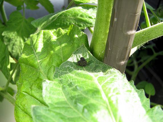 ミニトマトの実に害虫襲来
