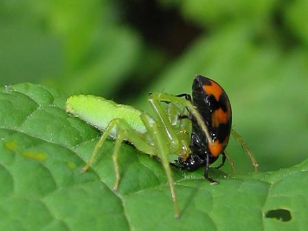 イタドリハムシを捕食するワカバグモ