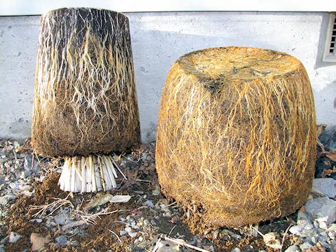 バケツ稲の根を見る