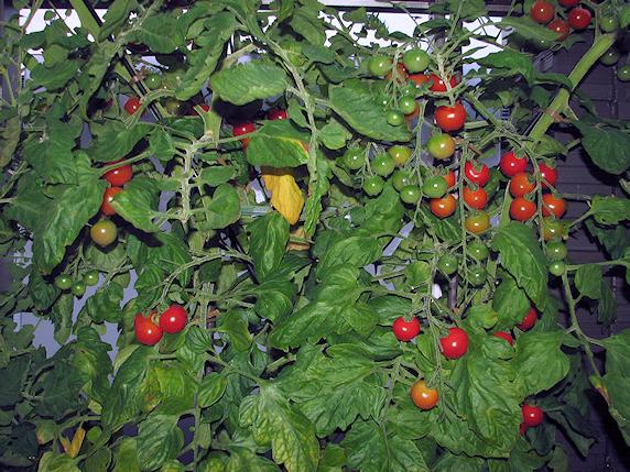 ミニトマト収穫2回目21個
