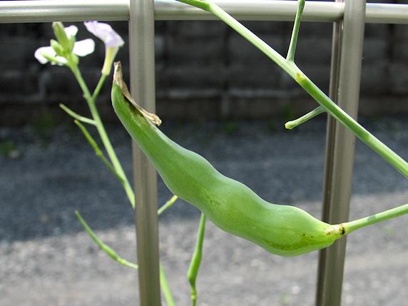 葉大根の変則栽培