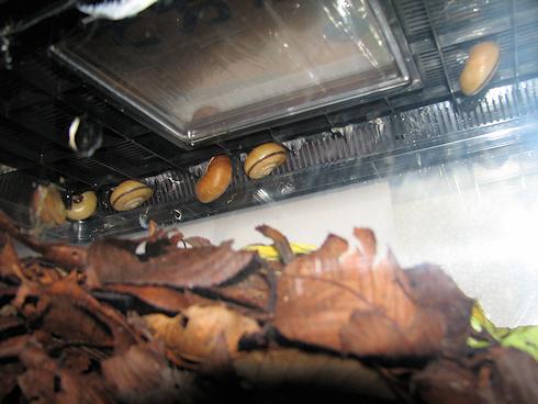 冬眠中のカタツムリ
