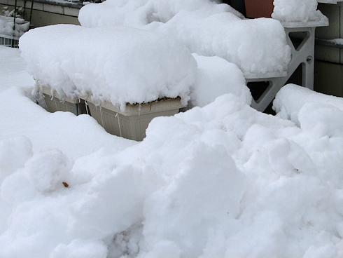 大雪の下のニンニク