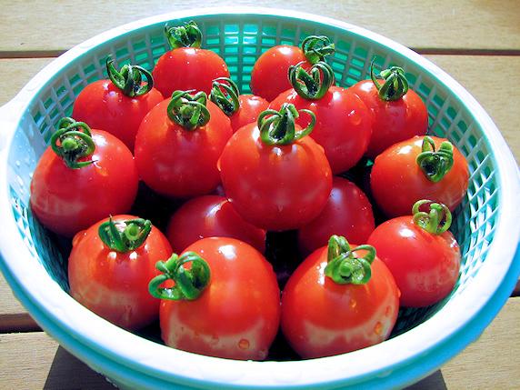 ミニトマト収穫3回目28個