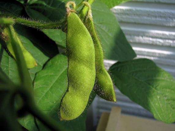 バジルの花と枝豆の鞘
