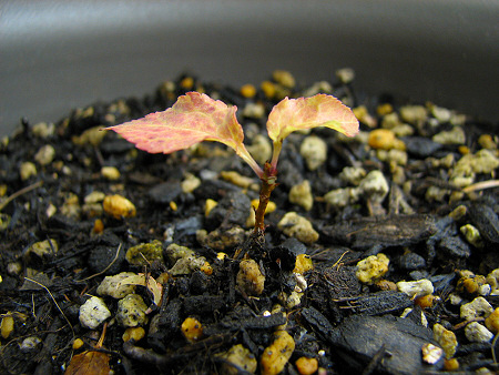 紅葉するサクランボの木