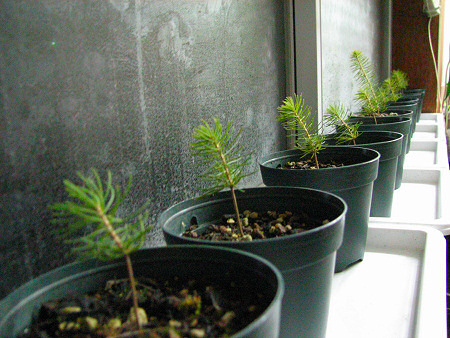 松の苗を室内に移動