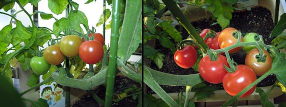 他のトマトも収穫間近