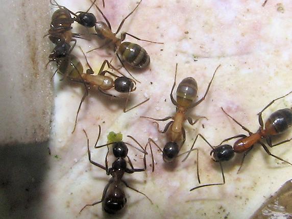 15匹のムネアカオオアリ
