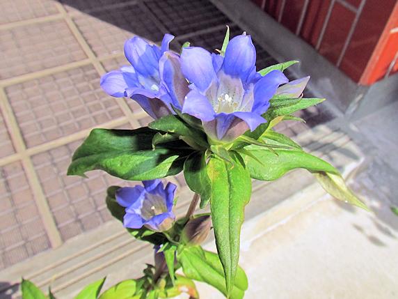 秋に咲く花エゾリンドウ