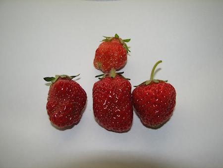 初めてのイチゴの収穫