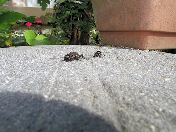 庭のエンマコオロギの続報