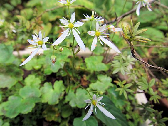 ダイモンジソウの花開く