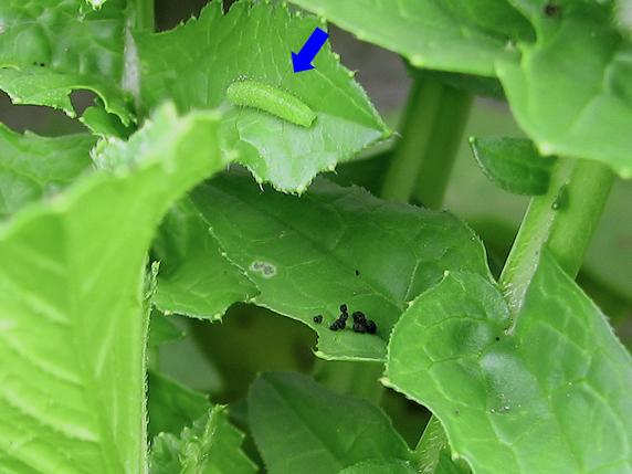 チョウの幼虫の探し方