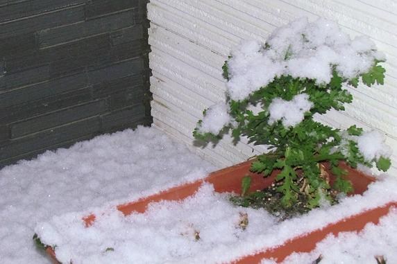 雪をかぶる春菊