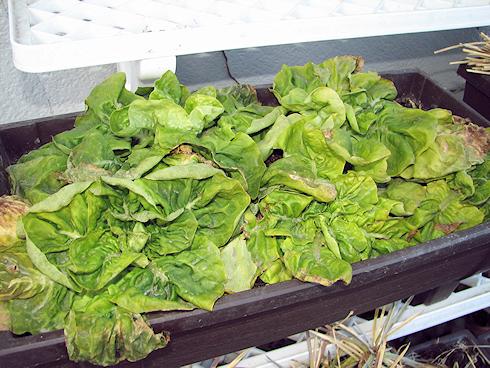 冬を生きるサラダ菜