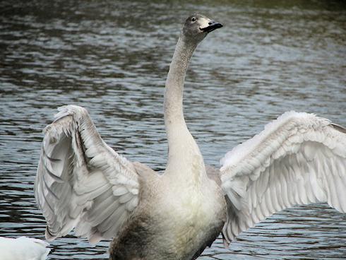 白鳥といろいろな水鳥(動画付)