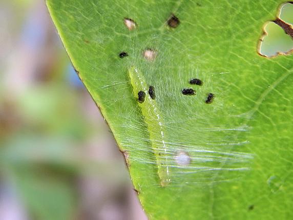 マエアカスカシノメイガの幼虫か?