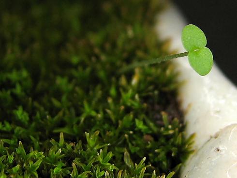 苔の中からの発芽