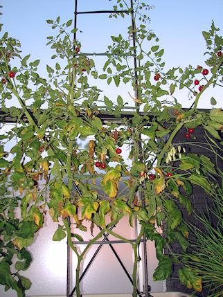 ミニトマト収穫6回目20個