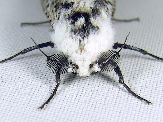 牛のような蛾のゴマフボクトウ