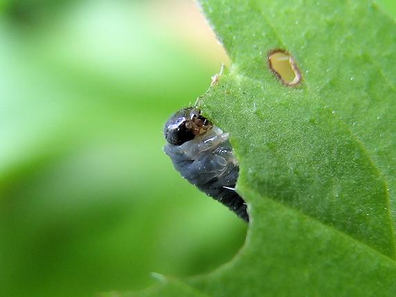 葉を食べるハバチの幼虫