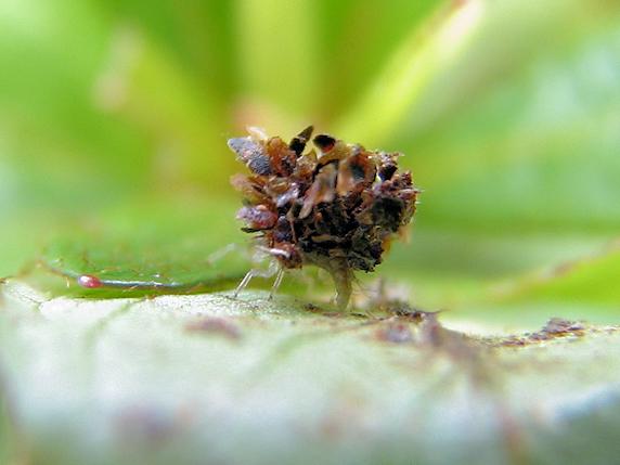 ゴミが動けばクサカゲロウの幼虫