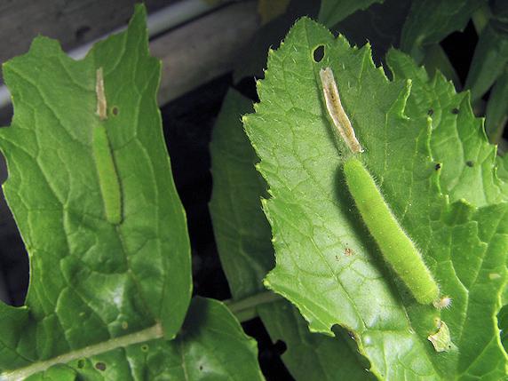 スジグロシロチョウの幼虫の脱皮